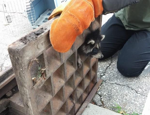 mapache-rescatado-alcantarilla