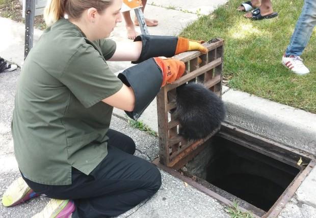 mapache-rescatado-alcantarilla2