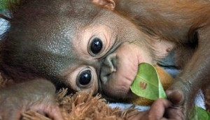 orangutan-bebe1 - copia