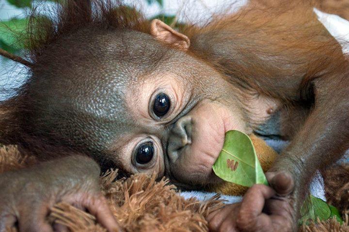 orangutan-bebe1