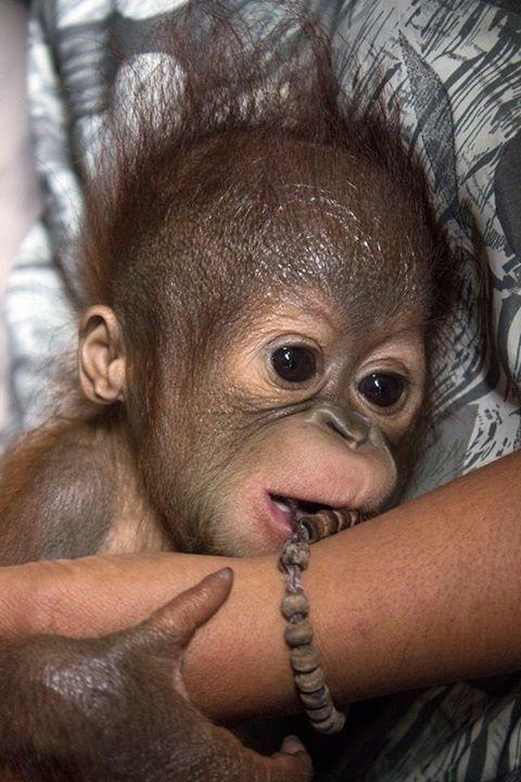 orangutan-bebe2