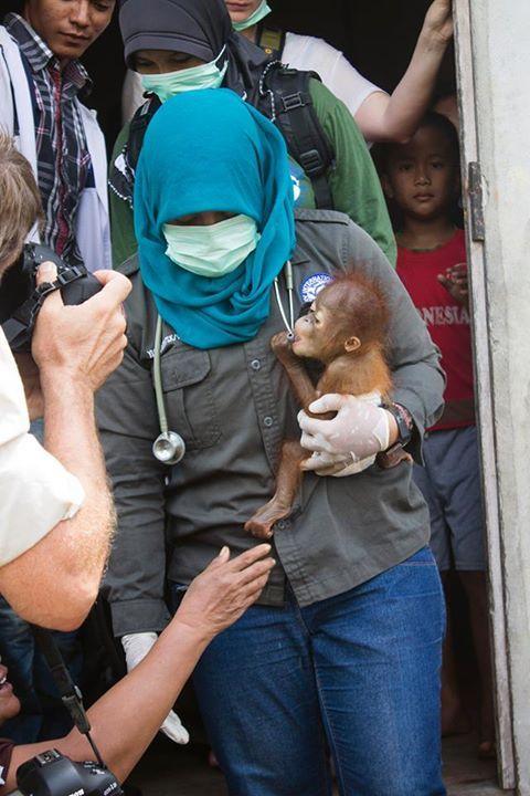 orangutan-bebe3