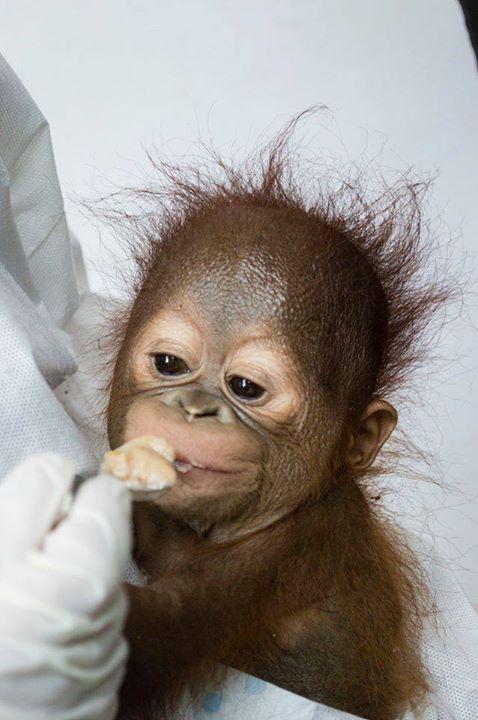 orangutan-bebe4