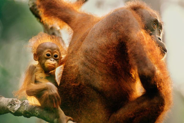 orangutan10