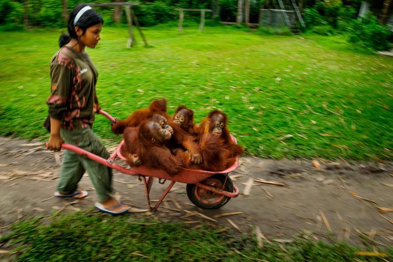 orangutan6