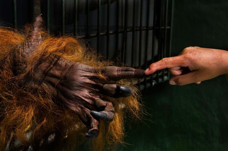orangutan7