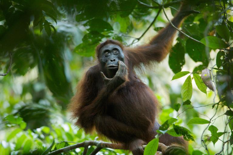orangutan8