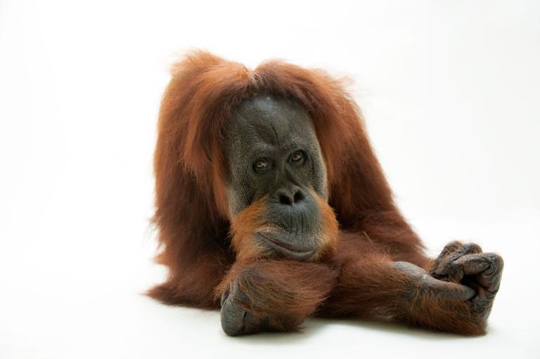 orangutan9