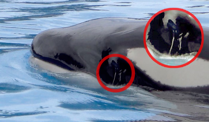 orcas-tenerife12