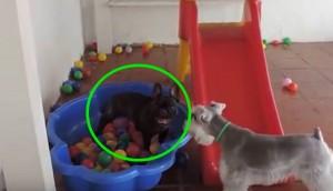perro piscina de pelotas