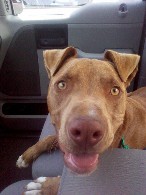 pitbull-adoptado1