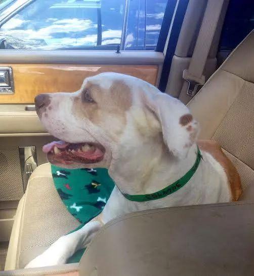 pitbull-adoptado11
