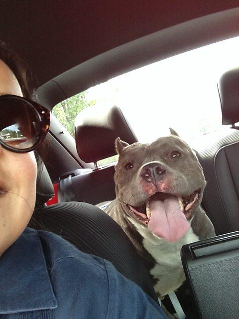pitbull-adoptado14