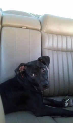 pitbull-adoptado15