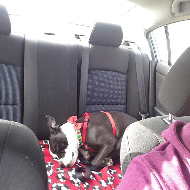 pitbull-adoptado18
