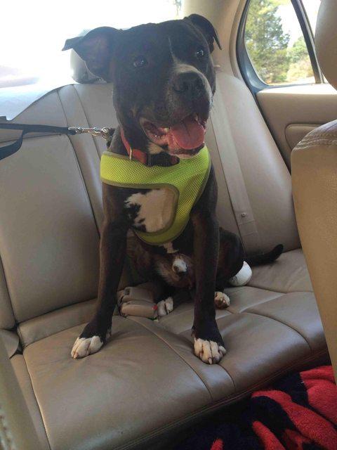 pitbull-adoptado20