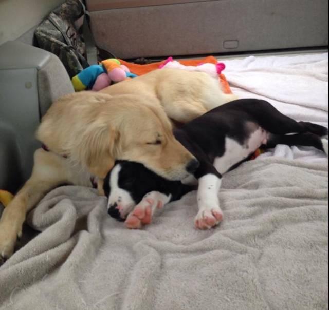 pitbull-adoptado3