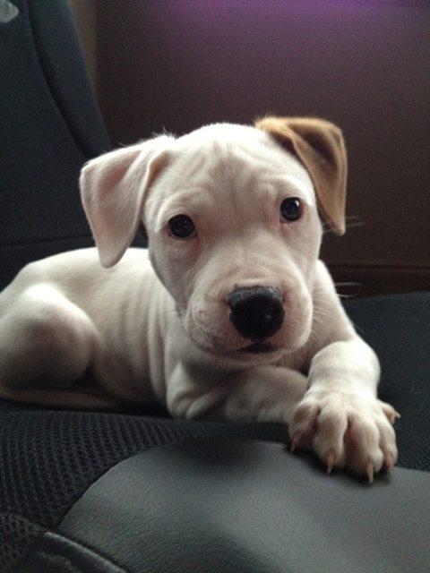 pitbull-adoptado4