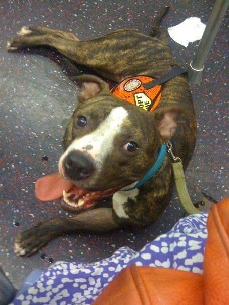 pitbull-adoptado6