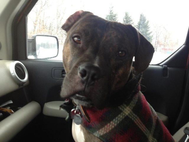 pitbull-adoptado7