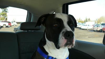 pitbull-adoptado9