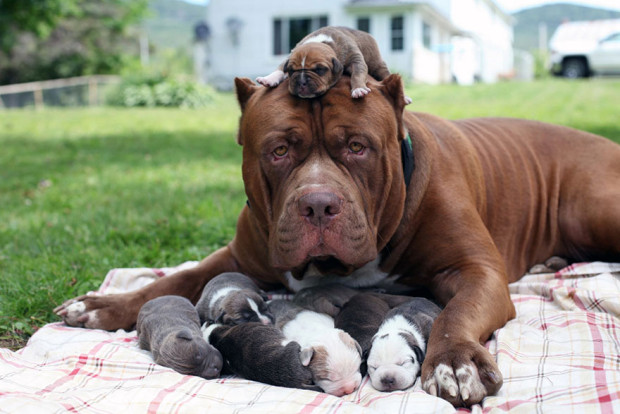 pitbull-cachorros-grandes7