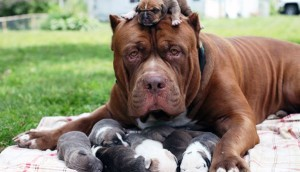 pitbull-cachorros-grandes7 - copia