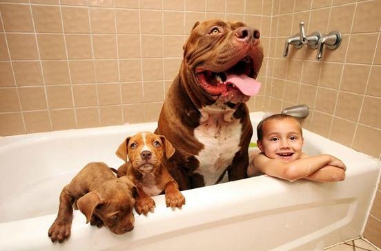 pitbull-grande-8-cachorros-11