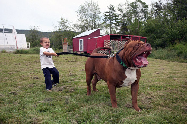 pitbull-grande-8-cachorros-14