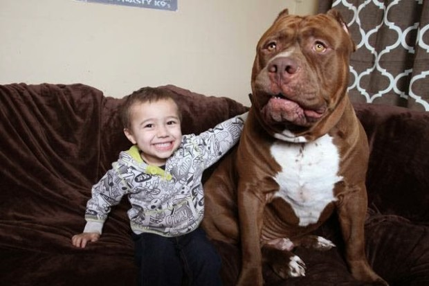 pitbull-grande-8-cachorros-17