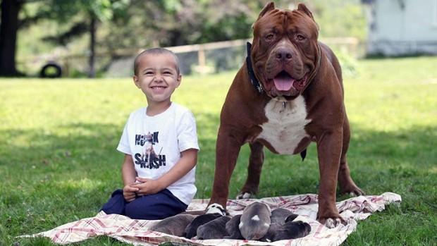 pitbull-grande-8-cachorros-6