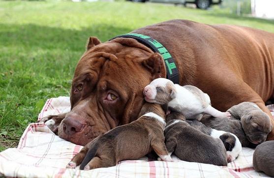 pitbull-grande-8-cachorros4