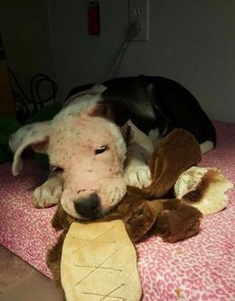 pitbull-rescatada15