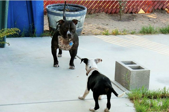 pitbull-rescatada8