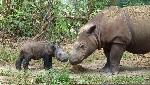 rinoceronte-extinto1
