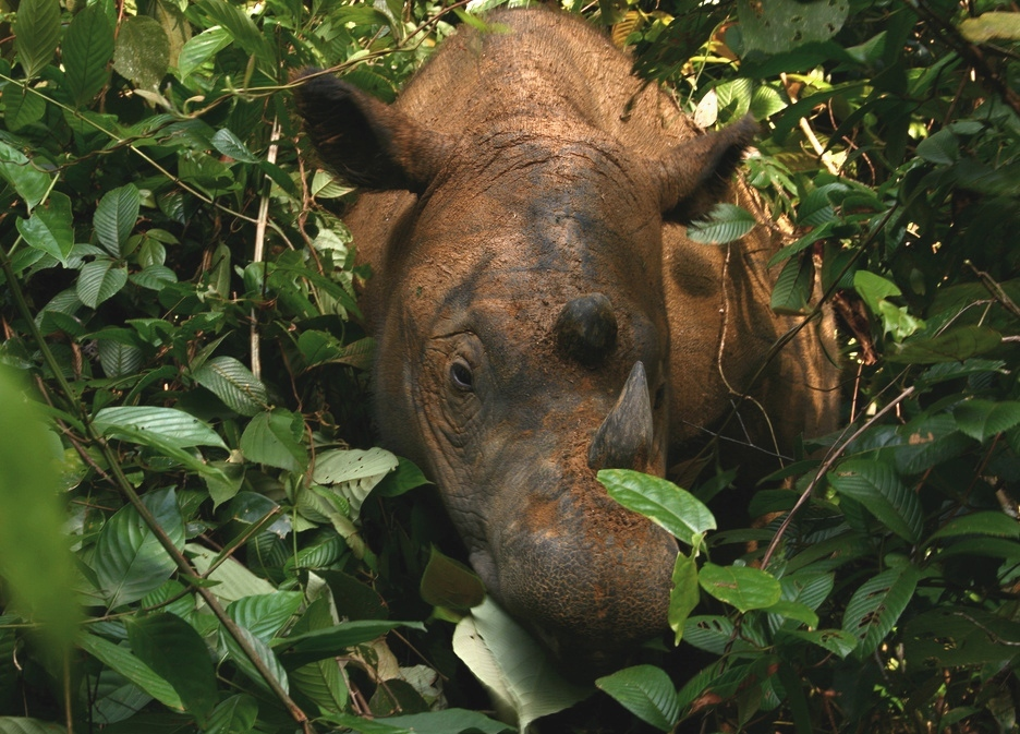 rinoceronte-extinto2