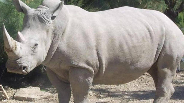 Rinoceronte4