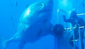 tiburon-blanco-mexico