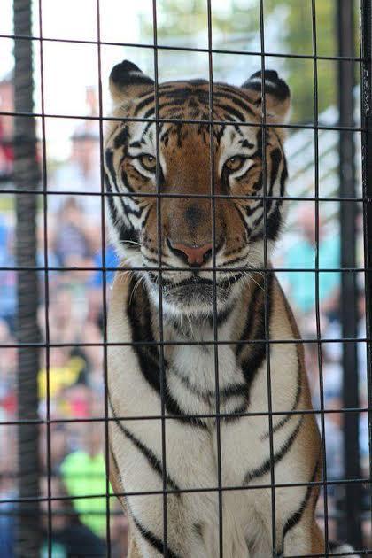 tigre-maltratado3