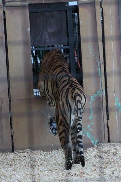 tigre-maltratado4
