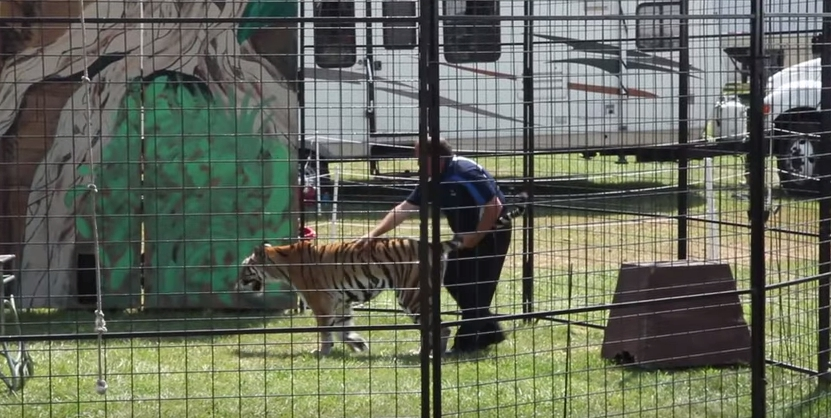 tigre-maltratado5