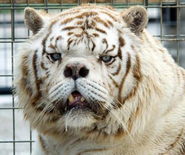tigre sindrome de down 3