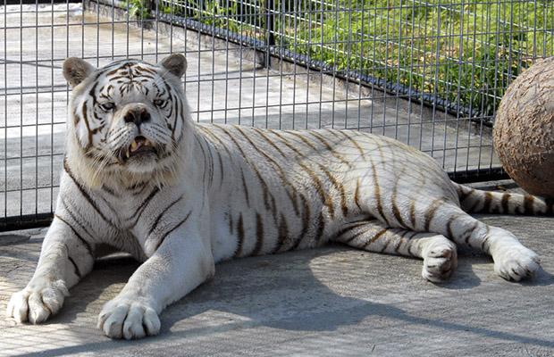 tigre sindrome de down 4
