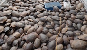 tortuga-rescatada