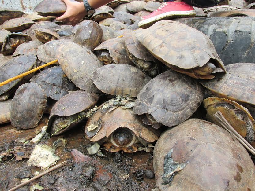 tortugas rescatadas 1