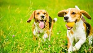 beagles 1