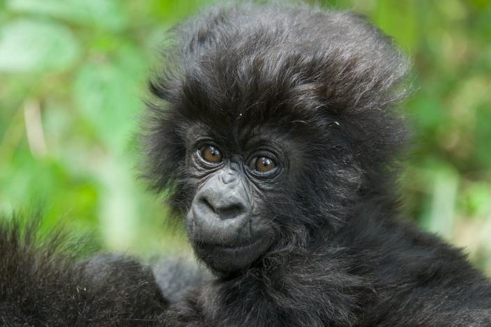 bebe-gorila1