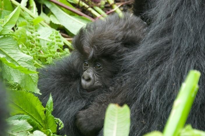 bebe-gorila10