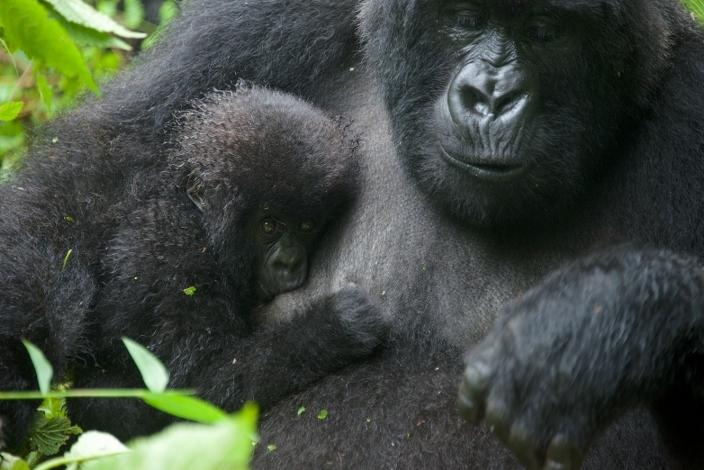 bebe-gorila11