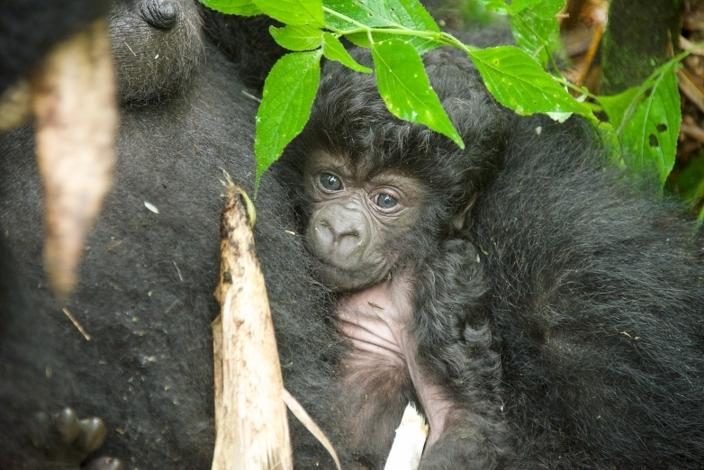 bebe-gorila12